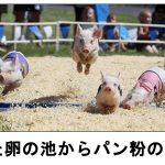 トンでもないネタに5秒で笑う!意外とかわいい豚のボケて 10選