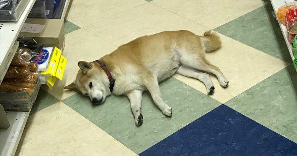 「柴犬が店内に落ちまくっていて...」文具屋がお客さんに謝罪する理由に笑った