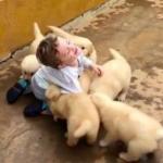 たくさんのゴールデンレトリバーの子犬に、もみくちゃにされる男の子がめちゃ楽しそう!