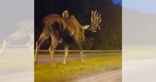 圧倒的な神々しさ!米国アラスカの路上をゆっくり歩く巨大ヘラジカが話題に