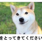 いまや世界的人気!素朴な表情がキュートな柴犬のボケて 11選