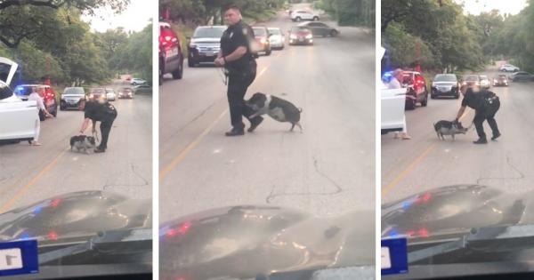 道路で立ち往生している小さなブタさん、交通渋滞を起こす!警察官に捕まらないよう一悶着