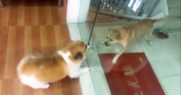 ガラス越しに大声で吠えて威嚇し合う2匹の犬!しかしガラスを開けて直接会うと、黙り込む(笑)