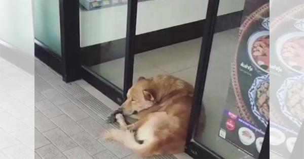 コンビニの自動ドアにギューっと挟まれながら昼寝を続けるワンコが可愛すぎる!