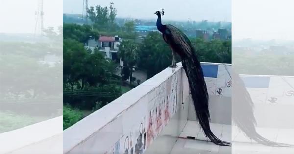 神々しすぎるレア映像!クジャクが空を飛ぶ姿がまるで火の鳥のようだと話題