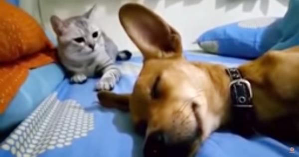 寝ながらオナラをしたワンコに、ニャンコが怒りの猫パンチ!起きてキョトンとするワンコに爆笑