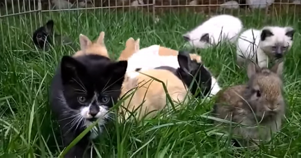 一緒に遊んでいたら、ウサギの跳び方が移ってしまった子猫!ピョンピョン飛び跳ねる姿にほのぼの