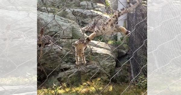 ユキヒョウの子どもが岩場からジャンプ!それを見た母親が驚いて、まさかのシンクロジャンプ