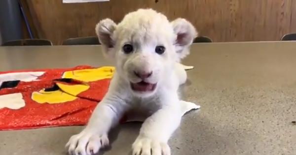 肉球がプニップニ!東北サファリパークのホワイトライオンの赤ちゃんがカワイすぎる