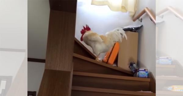 「息子を起こしてきて」と頼むと、階段を器用に登って雄叫びを上げるニワトリ!めちゃ賢い……