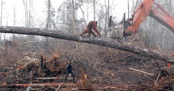 考えさせられる……。自分の森林を伐採するショベルカーに、一人で立ち向かうオランウータン