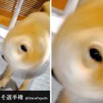 柴犬ドリル!話題になった「犬の写真へたくそ選手権」で優勝できそうなワンちゃんに笑う