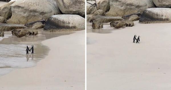 「ずっと一緒にいようね♡」仲間からこっそり離れて、浜辺でデートするペンギンのカップルが話題