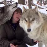 撮影を邪魔する大きなオオカミがめちゃ可愛い!甘えまくって、まるでワンコのよう