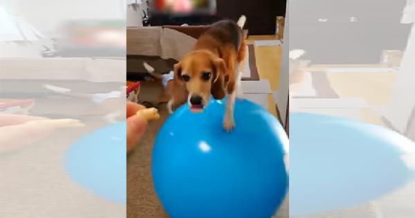 おやつのためなら奇跡を起こす!(笑) バランスボールに乗って移動するビーグル犬
