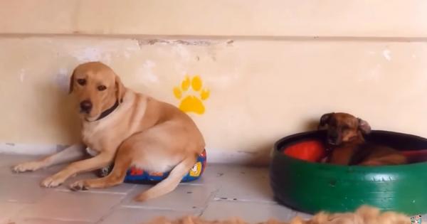 小型犬に自分のベッドを取られ、小さなベッドで何とか寝ようとする心優しいレトリバー