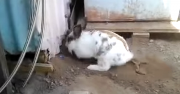 ウサギ「友達の白猫が物置に閉じ込められてる!」 物置の地面を掘って見事にレスキュー