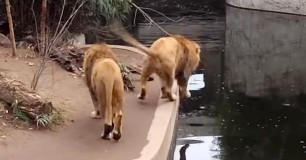 「あれ?地面がない…」足を踏み外して池に落ちてしまった、おっちょこちょいなライオン