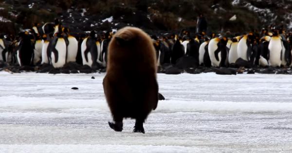 ラスボス的存在感!茶色の丸い謎の生き物、実はオウサマペンギンのひなだった