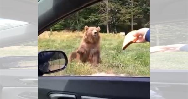 まるで着ぐるみ!サファリパークのクマさんに食パンを投げたら、見事に口でナイスキャッチ