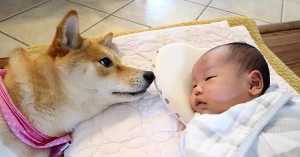 泣いている赤ちゃんの子守をする柴犬!あやしたり寄り添ったりする姿が可愛すぎる