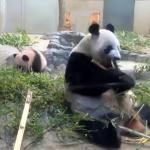 まるで着ぐるみ!(笑) 後ろにいたシャンシャンに驚く母親パンダの動きが機敏すぎると話題