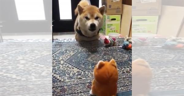録音した音声を再生するおもちゃで遊ぶ柴犬!何故か会話が成立していて、めちゃ可愛い♡