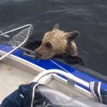 母熊からはぐれて、冷たい湖で溺れてしまった子グマ2匹!発見した釣り人による奇跡の救出劇