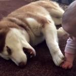 「あんまり乱暴しないでね…」小さな赤ちゃんに気を使いながら遊ぶハスキー犬