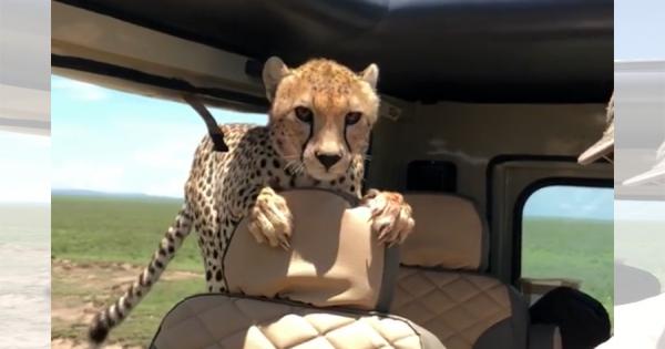 【最凶の10分間】野生のチーターが突然車内に侵入してきた!緊迫した映像に背筋が凍る