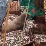 漁船が網を引き上げたら、思わぬ珍客が登場!大迫力の巨大トドに漁師もビックリ