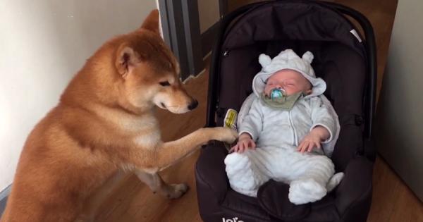 赤ちゃんの世話をする柴犬!温かい眼差しでチャイルドシートを揺り動かす姿にほっこり♡