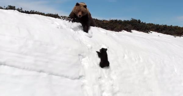 何度滑り落ちても諦めずに挑戦!雪の崖をよじ登るクマの親子に胸が熱くなる