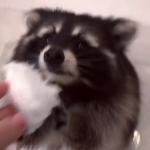 「あれ?どこに行ったの?」アライグマ、綿菓子を何度もらっても水で洗ってしまう