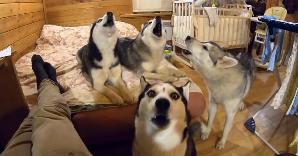 ハスキー犬4匹が大合唱!隣人の仲間に向けてのスペシャルコンサートを開催