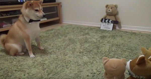おもちゃの柴犬 VS 本物の柴犬の死闘の行方は?不思議そうにする表情が可愛さ大爆発!