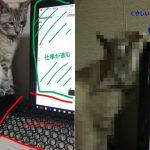作業の邪魔をするにゃんこ。ご主人の作戦「猫除けバリア」を突破すべく反撃に出る