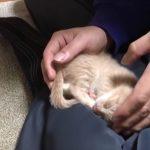 ご主人がちょっと意地悪!カーペットに降ろしても子猫が何度も膝に戻る姿が可愛過ぎる