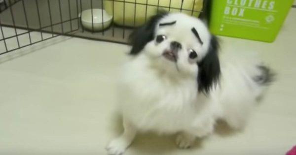 【究極の出オチ】眉毛がついたワンコの困った顔が腹筋崩壊しすぎてこっちが困る