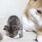 2匹のじゃれ合う子猫と見守る柴犬お父さんに癒される!