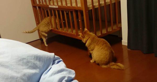 嫌な予感しかしない…笑 おバカすぎる猫がベビーベットに頭をツッコミ最悪の展開に!