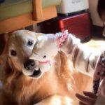 最高のベビーシッター!1歳の女の子とゴールデンレトリバーのやりとりがただただ癒される