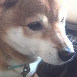 おやつちょーだい!と可愛い鳴き声とつぶらな瞳で訴える柴犬がオモロ可愛い