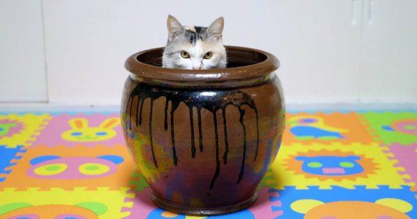 本当に狭いところ好きだな!拾ったツボを持ち帰ったら猫が案の定の行動に出る