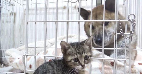 犬と猫の友情!子猫のことが好きすぎる柴犬の姿に心打たれる