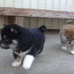 ヒーリング効果MAX!赤ちゃん柴犬が走り回る姿を見ているだけで人類は生きていける