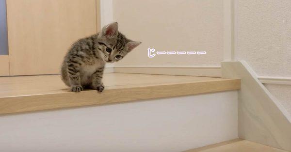 子猫チャレンジ!初めて階段に挑戦するも全く歯が立たない子猫が可愛すぎてヤバい