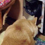 突然テンションが上がる柴犬、戸惑う黒猫。一体なにが…??
