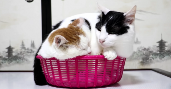 「お邪魔しますニャ〜」かごに収まる二匹の猫ちゃんが癒やし効果バツグン