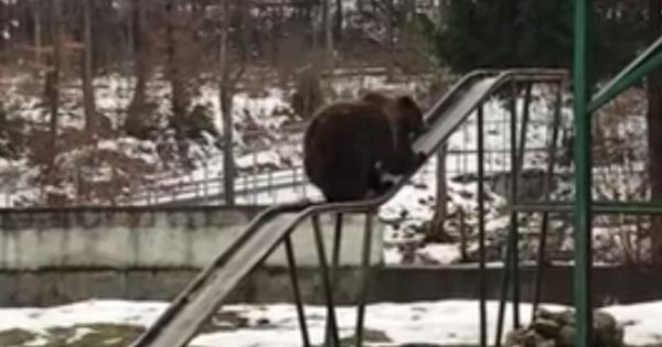 逆だよ逆!すべり台を滑るクマがかわいすぎる件